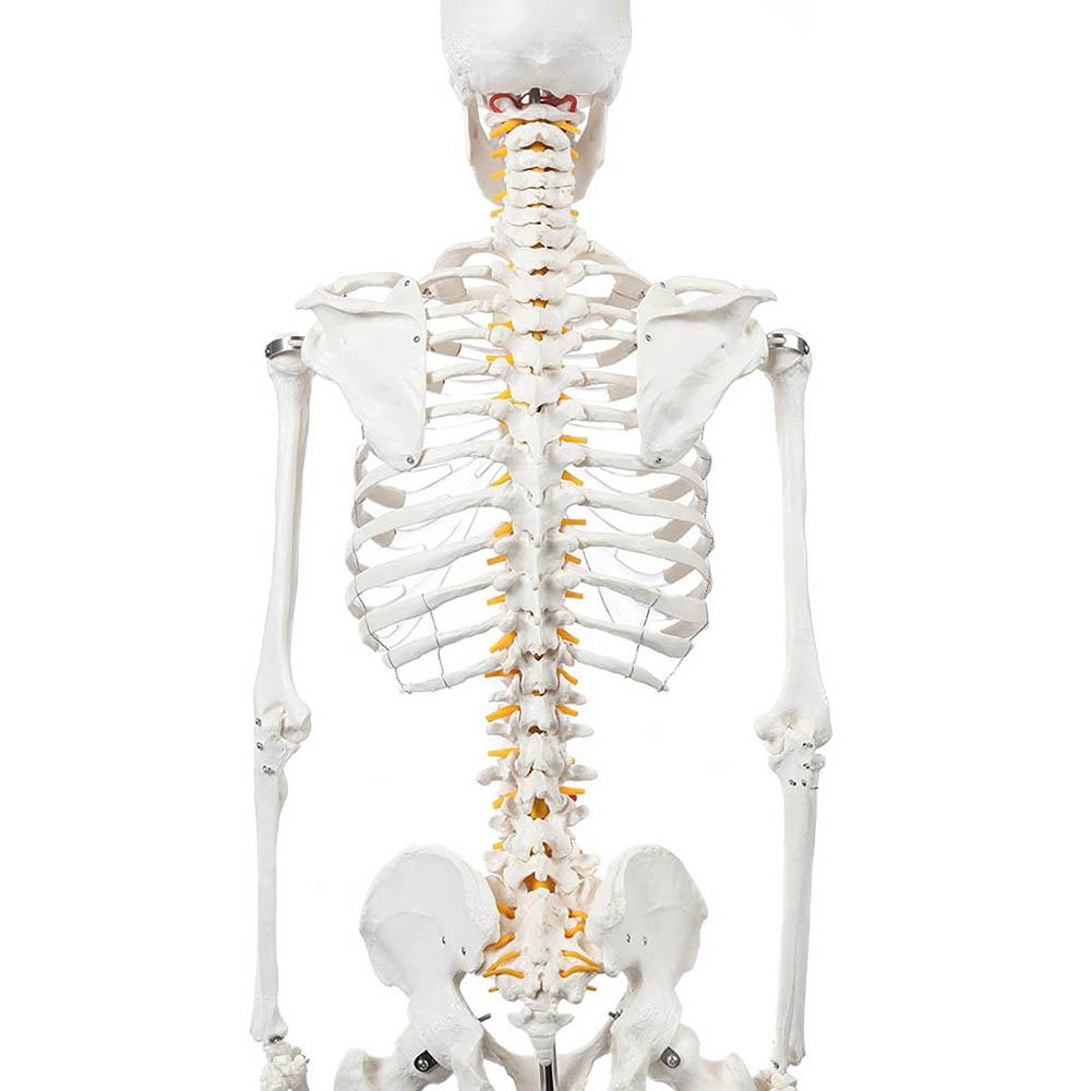 csontváz gerinc